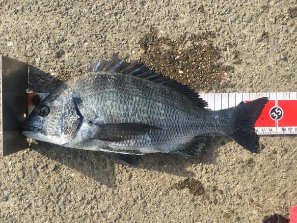 淡路島の紀州釣り釣果-20160730