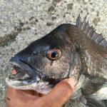 淡路島の黒鯛(チヌ)41センチ