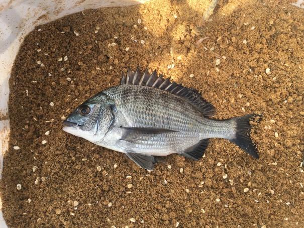 淡路島の紀州釣り