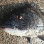 淡路島のチヌ・黒鯛