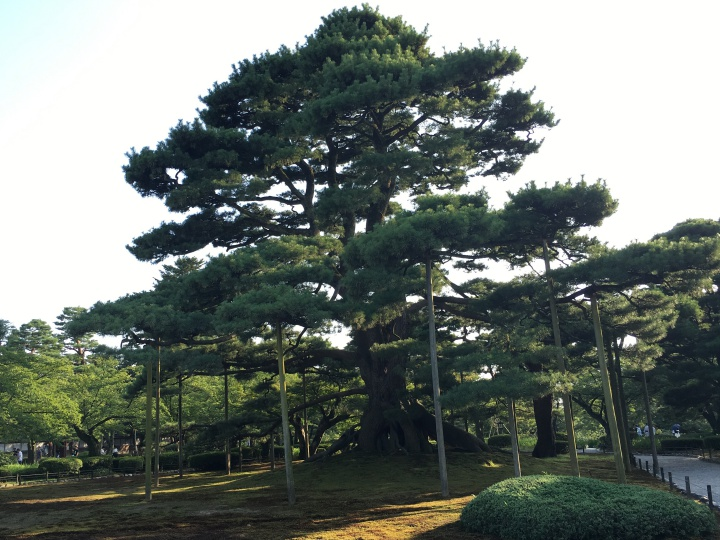 兼六園の松の木