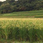 稲穂が実る季節、淡路島周辺の海水温を確認してみた件