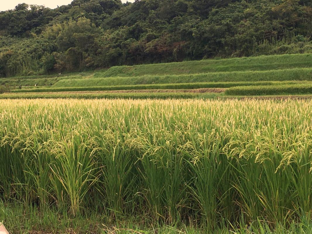 淡路島の田んぼ