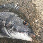 【淡路島】年無しゲット!紀州釣りで淡路島の秋チヌを楽しんできました
