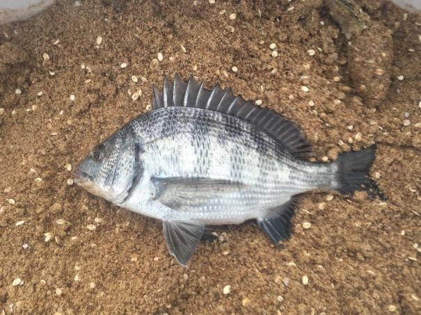 淡路島の黒鯛(チヌ)20161022