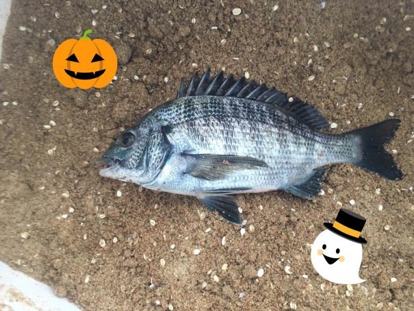 淡路島の黒鯛(チヌ)