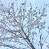 この桜が満開になったら淡路島へ行くことにします