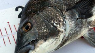 【淡路島】アフターを釣れ!ノッコミ後の淡路島で燻銀チヌを狙った結果!