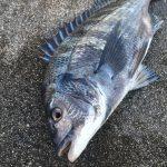 【淡路島】小チヌ祭りの中、終了間際になんとか燻銀チヌをゲットできました