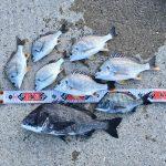 【淡路島】強風に向かって団子を投げた結果、燻銀チヌとキビレに遊んでもらえました