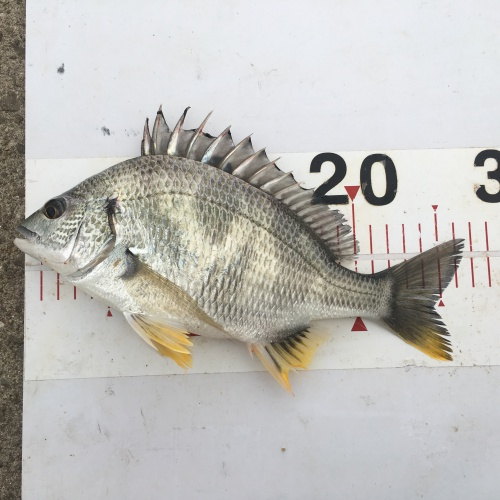 淡路島の魚