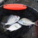 今年の紀州釣りは貧果で終了です・・・