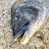 【淡路島】今年の淡路島の初チヌは年無しでした!