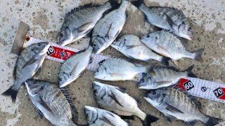 【淡路島】紀州釣り千本ノック!小チヌ祭りで紀州釣りの基本を体に叩き込め!