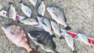 【淡路島】豪雨の影響でキビレ先行も燻銀チヌとお土産マダイをゲット!