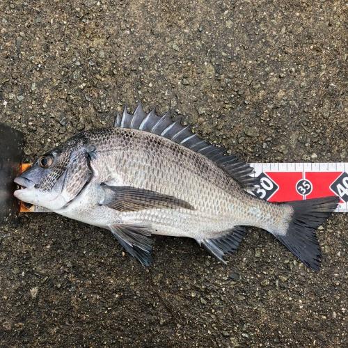 淡路島のチヌ 紀州釣り