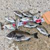 【紀州釣り】台風後の淡路島でチヌは釣れるのか?答えは小チヌ漁港にあり!