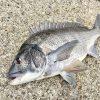 【初心者向け】紀州釣りで初めてチヌ(黒鯛)を釣るためにまず知っておくべきこと「3つ」