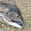 本当は教えたくない紀州釣り団子の「固さ」と「バラけ」を調節するワザ