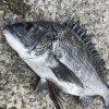 実績から考える淡路島のチヌ釣りシーズンとは?