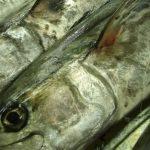 三重県鳥羽の「答志島(とうしじま)トロさわら」と淡路島の生サワラ丼はどっちがウマイのか!?