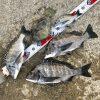 【紀州釣り】タコの猛攻に涙!秋チヌの数釣りは次回に持ち越しです〜