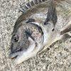 【釣行記】淡路島の紀州釣りシーズン継続中!ダンゴの数をカウントして見えてきたもの