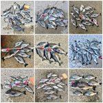 【2018年】紀州釣り釣果のまとめ