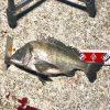 【釣行記】淡路島の海を動画で撮影!チヌはいた!あとは釣るだけ!