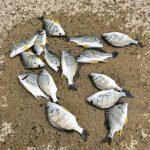 【釣行記】冬の淡路島でキビレがたくさん釣れました!