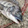 【釣行記】冬の淡路島で燻銀チヌをゲットォ!!