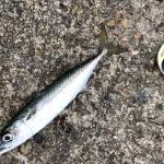 【釣行記】淡路島の近海で大サバが釣れてます!
