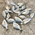 【釣行記】ノッコミ狙いの淡路島でなぜか小チヌとキビレ祭りに遭遇(合計38匹)