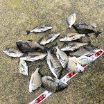 【釣行記】淡路島で2日間の紀州釣りを満喫してきました!チヌ:17匹、キビレ:5匹