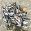 【釣行記】台風後の淡路島でチヌ爆釣です!(チヌ:26匹、キビレ:4匹、へダイ:1匹)