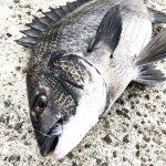 【基本】紀州釣り師が「チヌを効率よく釣る」ために心掛けていること6つを紹介