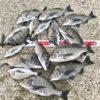 【釣行記】淡路島の秋爆が来た!燻銀チヌ43センチを頭に15匹の爆釣を楽しめました!