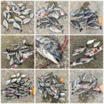 【2019年】紀州釣り釣果のまとめ!合計108匹、年無し1匹も釣れた!チヌたちに感謝です