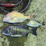 【釣行記】初釣りは南紀でチヌ45センチとマダイ44センチ!