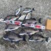 【釣行記】淡路島で2日間の紀州釣りを楽しんできた!ウルトラ競技チヌがいい働きをしてくれました!(チヌ:10匹、キビレ2匹)