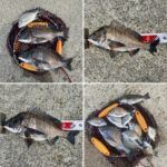 【釣行記】渋々の淡路島でチヌ11匹とキビレ2匹を釣って来ました!