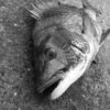 この時期にチヌが釣れないのは釣り方が間違っています。チヌを釣るための紀州釣りの基本を伝授!