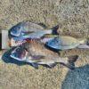 【釣行記】エサ取りの猛攻をかわしてチヌ42センチをゲット!秋の紀州釣りはエサ取りの攻略が重要です!