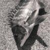 【紀州釣り】台風で釣りに行けなかったのでツイートまとめ