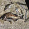 【釣行記】秋が深まる淡路島で強風、速い潮、エサ取りのトリプルパンチに泣かされながらも燻銀チヌ43センチをゲット!