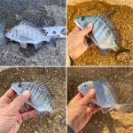 【釣行記】南紀で今年最後の紀州釣りを楽しました!釣果:チヌ手のひらサイズ3匹